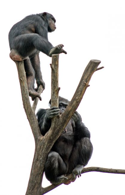 two chimps in a tree