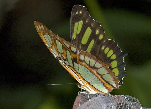 butterfly21