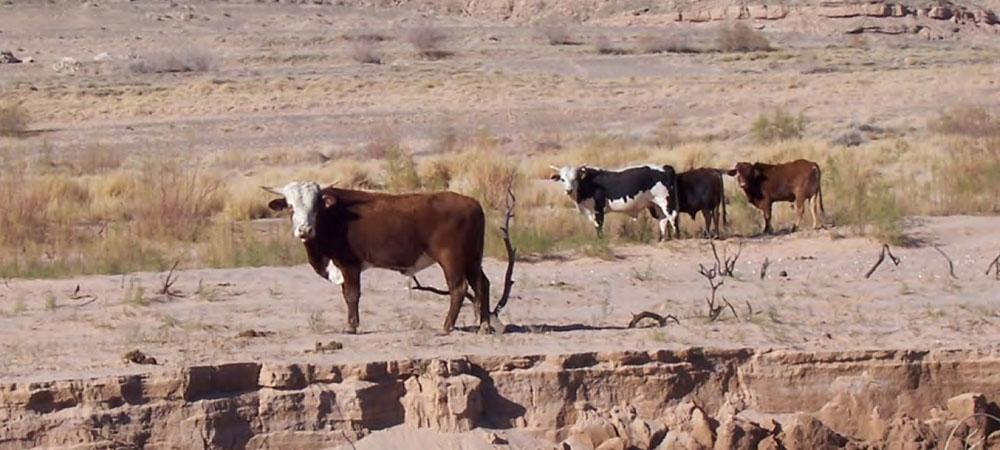 Bundy's cows
