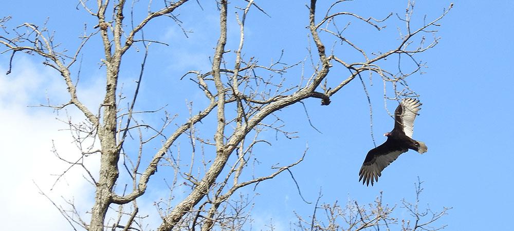 Vulture flying overhead