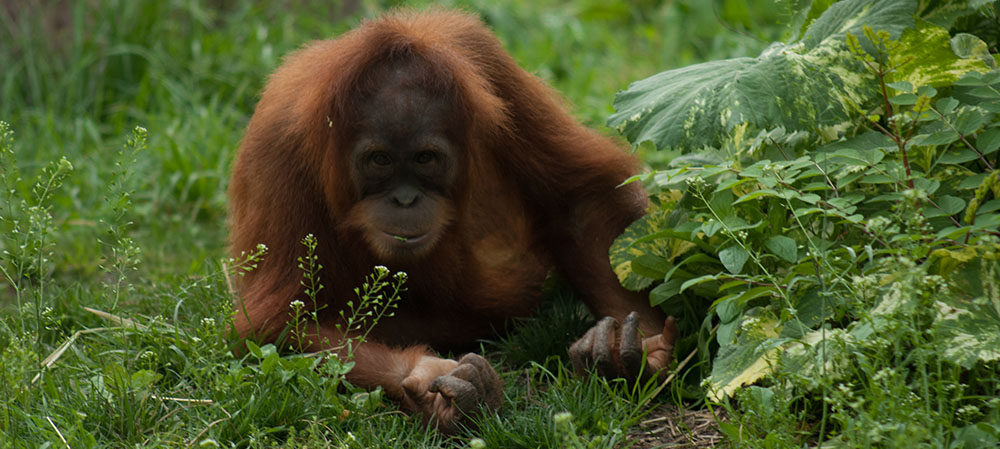 Orangutan laying on grass looking at camera