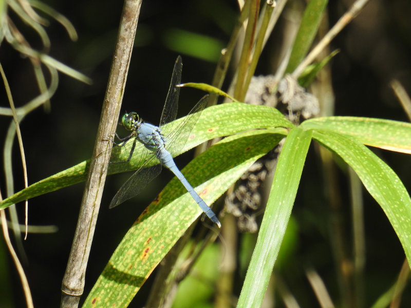 Dragon fly in the swamp