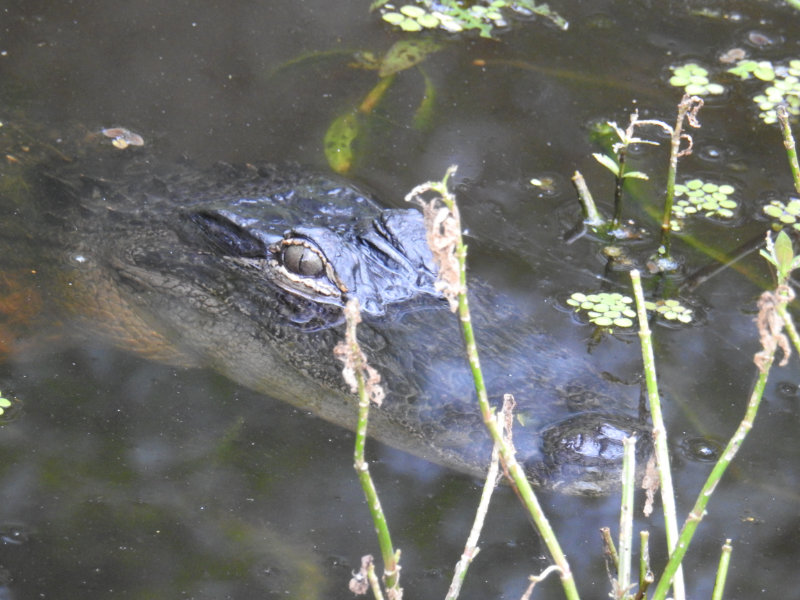 Young aligator in cypress swamp