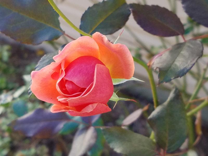 bright orange rose bud
